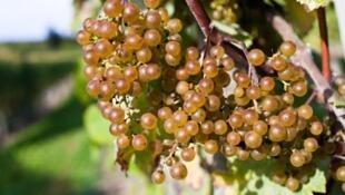 Виноградарский и винодельческий секторы сильно пострадали в результате санитарного кризиса, вызванного пандемией коронавирусной инфекции.