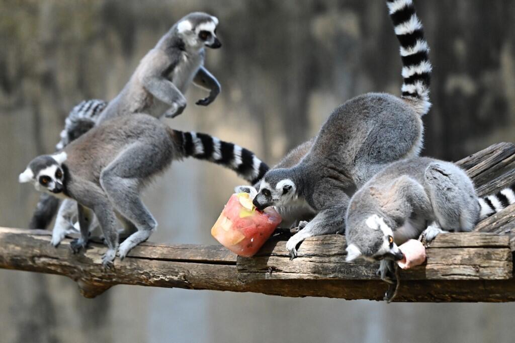 Lémuriens zoo
