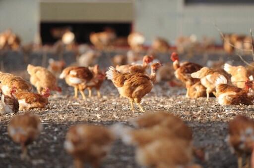 Un élevage de poulets à Vielle-Soubiran, dans le sud-ouest de la France (illustration).