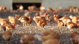 Chickens being raised in a farm in Vielle-Soubiran in the south west of France.