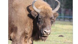Le parc national de Białowieża est le repère des derniers bisons d'Europe.
