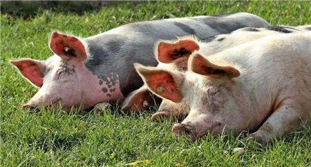 中國是全球最大豬肉消費國和德國豬肉最大購買國