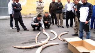 Ngà voi bị tịch thu tại Hải Phòng ngày 06/03/2009. (Ảnh tư liệu)