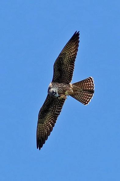 Eleonora's falcon eating an insect while on the wing, in the Mandatia Forest, Madagascar.
