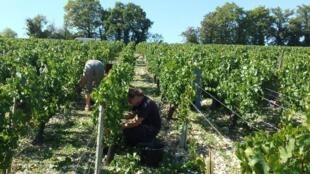 法國釀酒用的葡萄園。