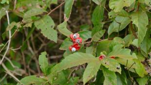 Planta de Guaraná
