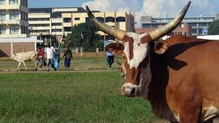 Un bovin errant dans la capitale Bujumbura.