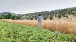 Après des études d'informatique, le trentenaire Stefano Caccavari a décidé de reprendre les terres de sa grand-mère pour exploiter des champs de blé une boulangerie et une pizzeria en bio.
