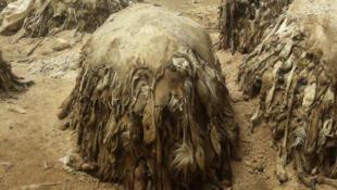 Des peaux de moutons entassées.