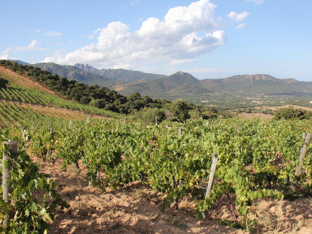 Les coopératives viticoles françaises ont la cote auprès des Anglais. Ici, le vignoble corse.
