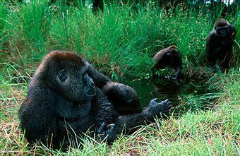 Gorilles au Gabon.