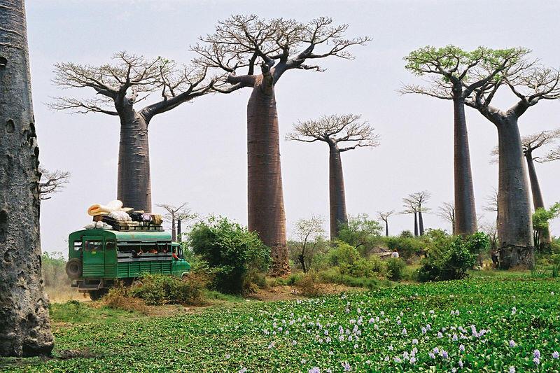 Des baobabs, le long d'une route de campagne à Madagascar.