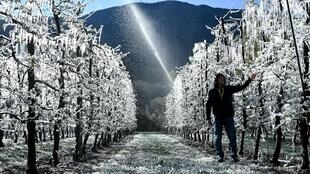 The apple trees are covered with a layer of ice