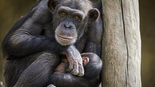 chimpanzee-3707270_960_720