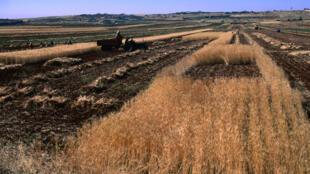 Moisson dans un champ de blé en Syrie.