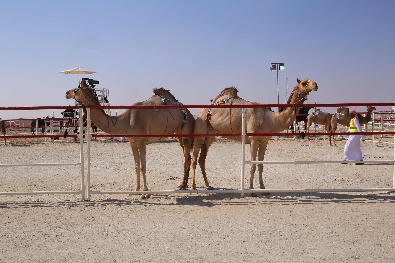 Camelos desfilam na área onde são avaliados pelos juízes.