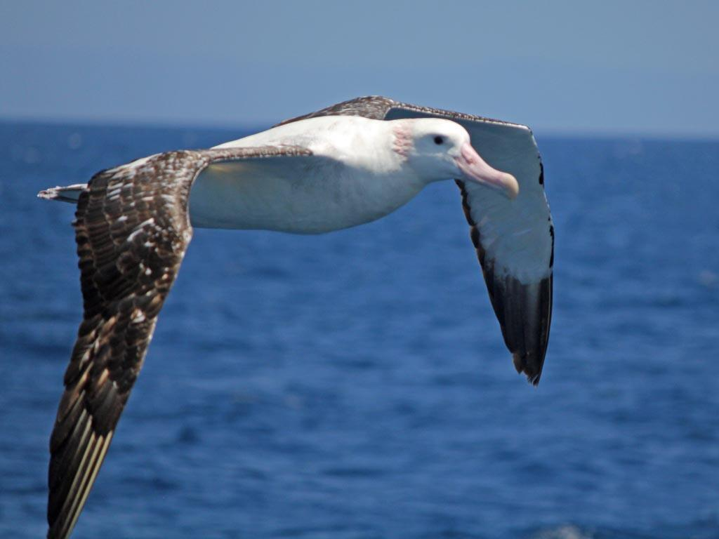 Marion Island is home to nearly a quarter of the world's breeding population of Wandering albatrosses_Wikimedia Commons