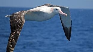 Marion Island, a remote island off the coast of South Africa, is home to nearly a quarter of the world's breeding population of Wandering albatrosses.