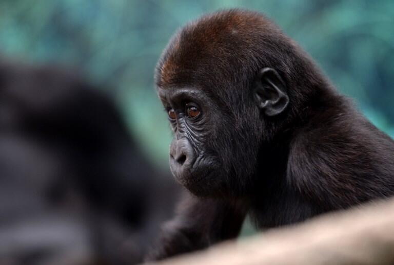Un jeune gorille au zoo de Beauval, à Saint-Aignan-sur-Cher.