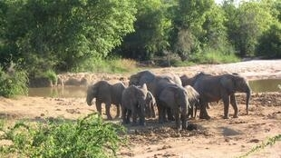 African bush elephants in Yankari National Park