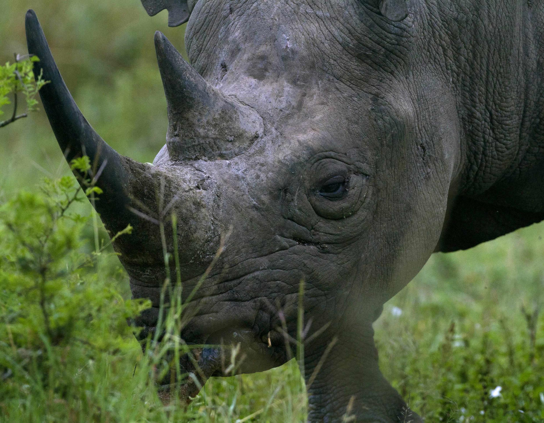犀牛角在亚洲的零售价格已飙升至每公斤100,000欧元。
