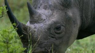 Le kilo de cornes de rhinocéros atteint les 80000 euros sur le marché noir.