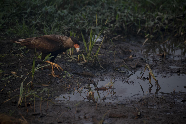 Um carcará no pântano do Pantanal, estrada do parque Transpantaneira no estado de Mato Grosso, Brasil, em 13 de setembro de 2020.