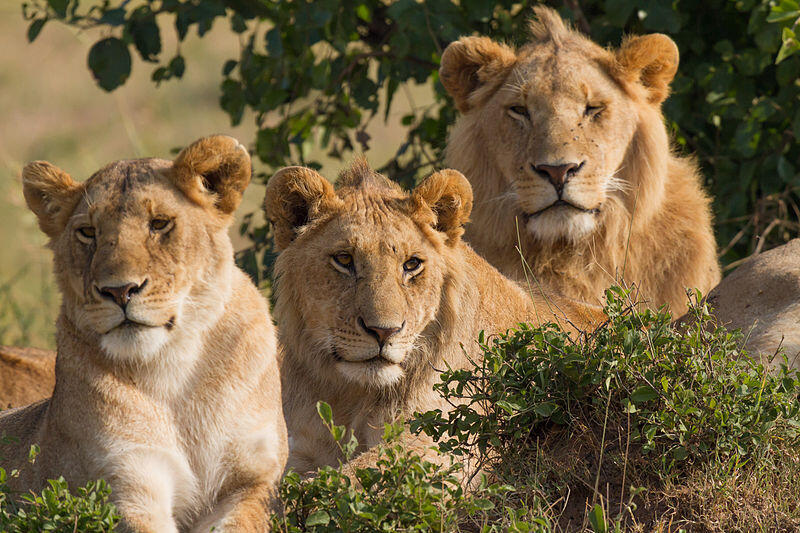 Lions of a herd in Masai Mara, southwest Kenya