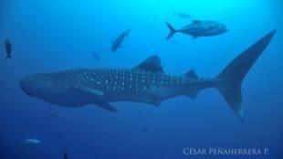 Coco es una tiburon ballena de unos 50 años y de unos 12 metros de largo. Gracias a ella se confirmó la existencia de un nuevo corredor migratorio.