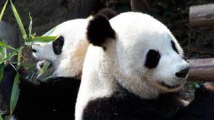 """中国大熊猫""""欢欢""""和""""园仔""""抵达法国博瓦勒动物园。"""