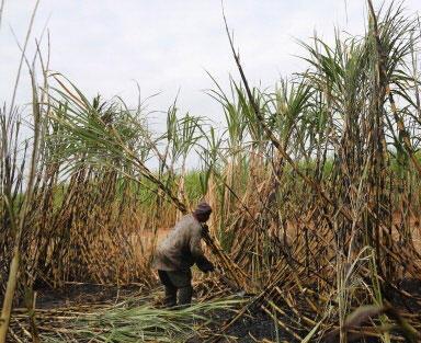 Un agriculteur sur un champ de canne à sucre à Komatipoort, en Afrique du Sud, en juillet 2013