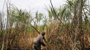 Un agriculteur sur un champ de canne à sucre à Komatipoort, en Afrique du Sud (image d'illustration)
