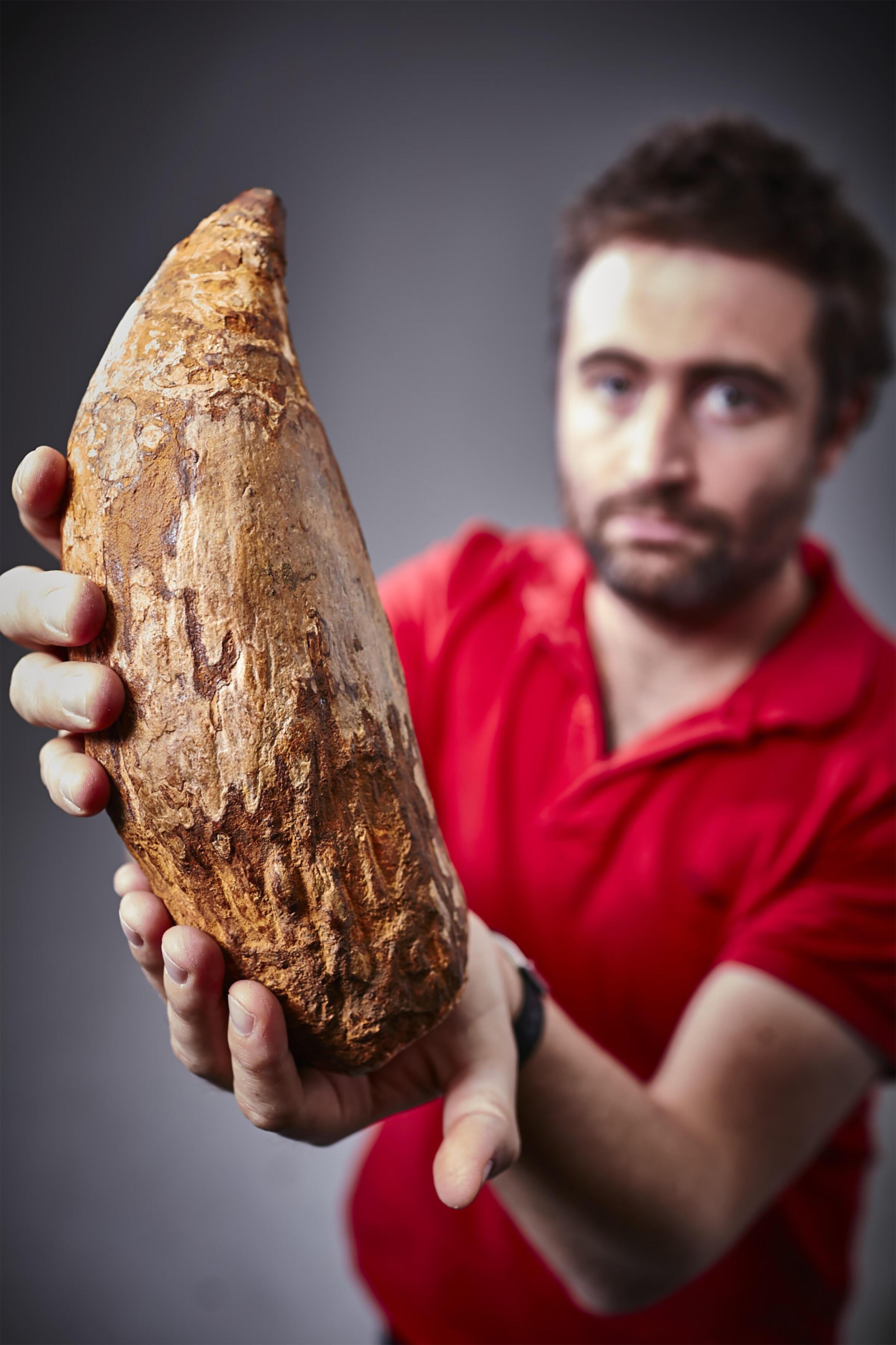 Retrouvée en Australie, cette dent de cachalot mesure plus de 30 centimètres et serait vieille de cinq millions d'années.