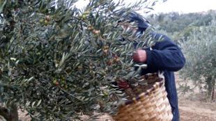Récolte des olives dans les champs d'oliviers de Lantziego, en Espagne.