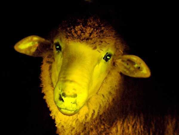 Los uruguayos crearon 9 ovejas que resplandecen bajo la luz ultravioleta.