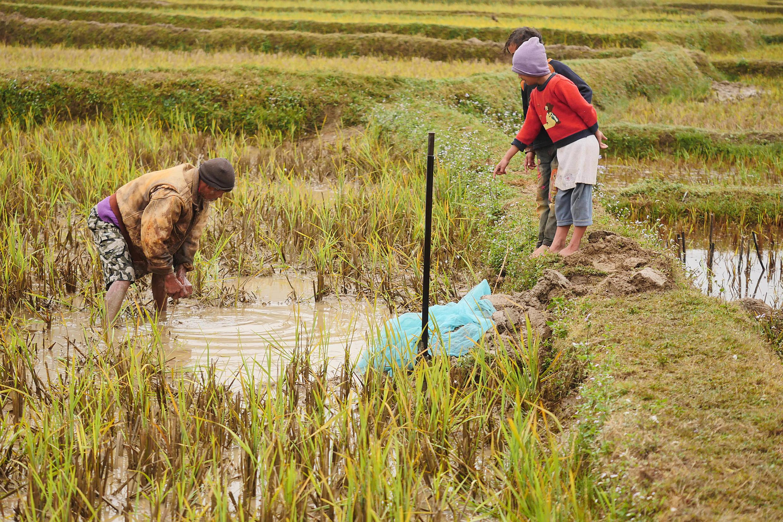 Célestin et ses fils pêchent les carpes à la main dans leur rizière, sur les Hauts-Plateaux malgaches, en novembre 2016.
