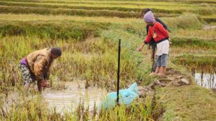 Célestin et ses fils pêchent les carpes à la main dans leur rizière, sur les Hauts-Plateaux malgaches.
