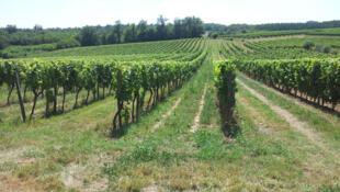 Dans les vignobles de l' Entre-deux-mers, domaine du Bourdieu