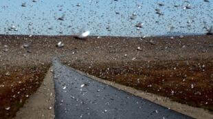 La ville de Sakaraha dans le sud-ouest de Madagascar avait déjà subi une invasion de criquets en avril 2013.