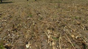 Un champ où l'on pratique l'agriculture de conservation en Zambie.