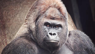 Gorille de la région basse de l'est du Zaïre