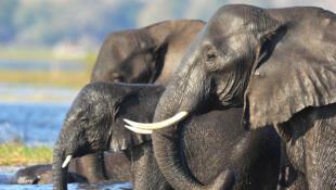 Elefantes nos Chobe National Park, de Botsuana.