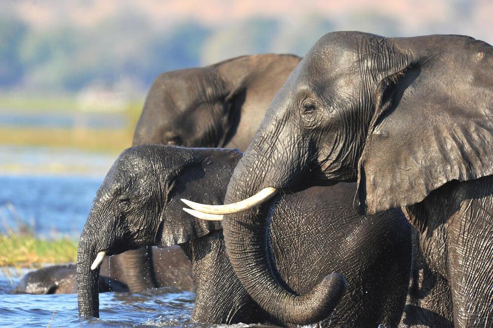 African elephant (Loxodonta africana) in the Chobe National Park, Botswana.