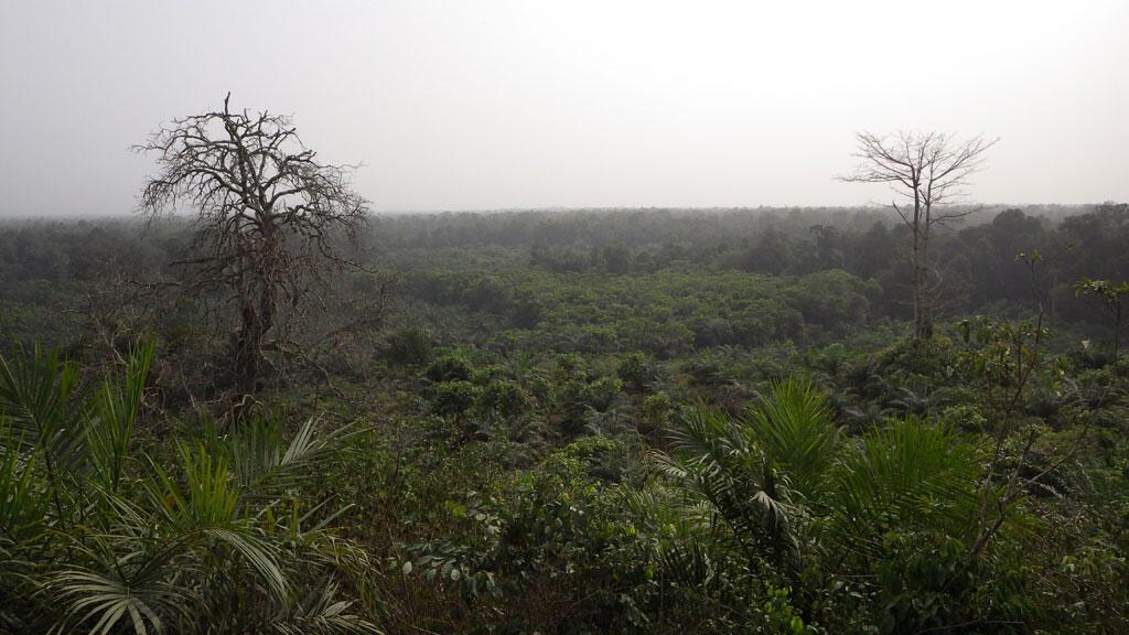 La forêt des Marais Tanoé-Ehy dans le sud-est de la Côte d'Ivoire.