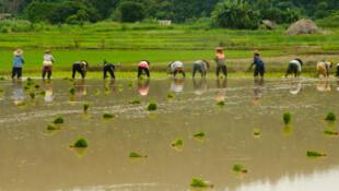 Plantation du riz durant la saison des pluies, dans le nord de la Thaïlande.
