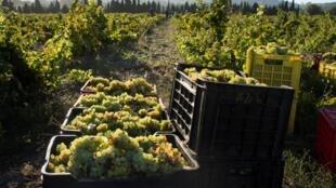 Récolte de raisin avant le pressage dans un domaine viticole situé à environ 60 km du centre de Cape Town (image d'illlustration).