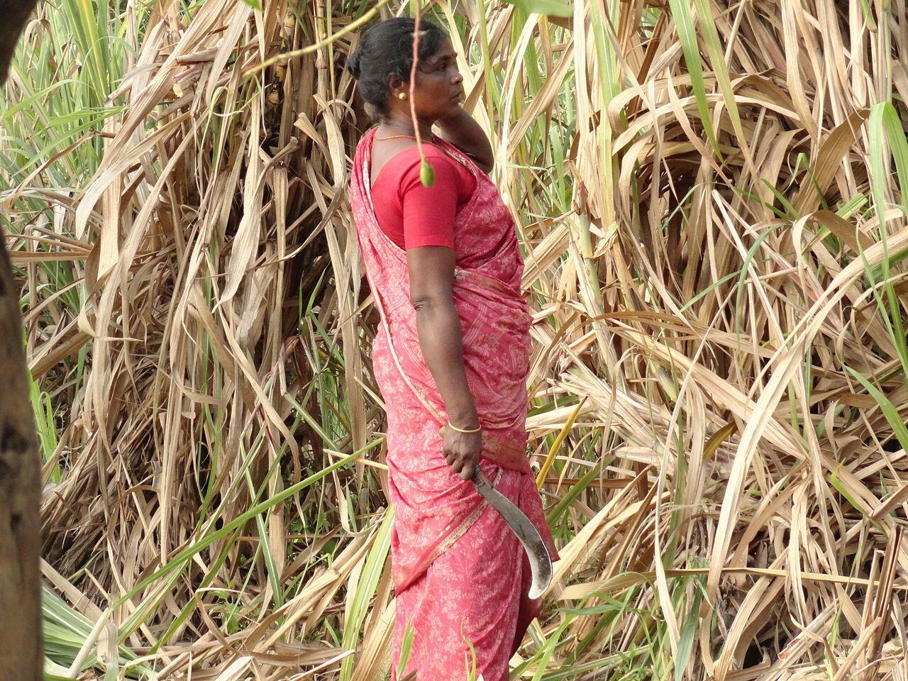Une femme dans une plantation de canne à sucre, près de Damalcheruvu (sud de l'Inde), en 2012.