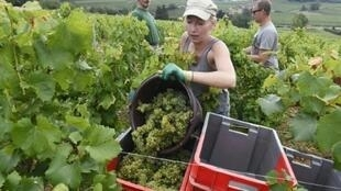Workers harvest grapes at the St Veran vineyard in Chasselas, France