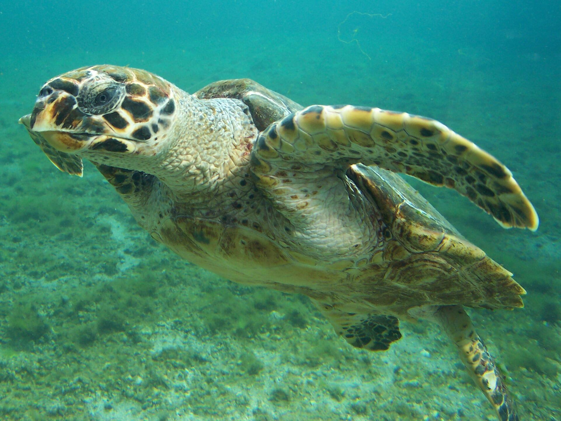 Головастая морская черепаха.