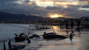 55 baleines échouées sur une plage en Afrique du Sud, le 30 mai 2009.